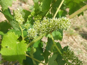 flowering Chenin