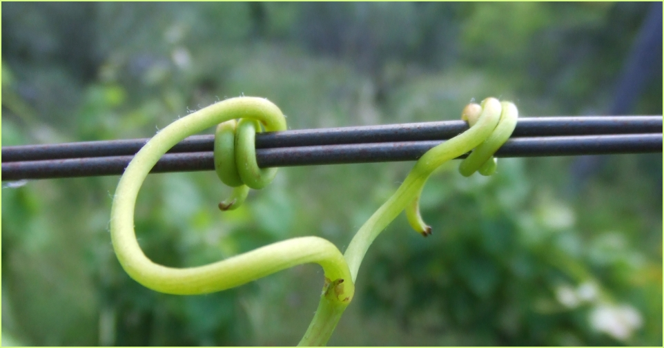 tendril 2